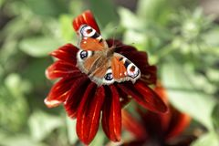 Close up of butterfly Lepidoptera on red dahlia flower. Royalty Free Stock Photo