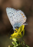 Butterfly on flower. Close up of butterfly (lycaenidae) on flower Royalty Free Stock Images