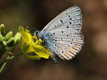 Butterfly on flower. Close up of butterfly (lycaenidae) on flower Royalty Free Stock Photos