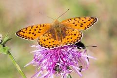 Macrophotography of a butterfly - Melitaea didyma Royalty Free Stock Photos
