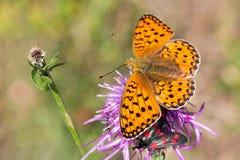 Macrophotography of a butterfly - Melitaea didyma Stock Image