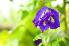 Close up of butterfly pea flower Stock Image