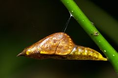 Close up of butterfly pupa. A close-up macro show a butterfly pupa details of body Royalty Free Stock Photo