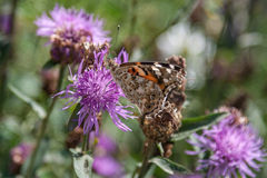 Close up of a butterfly on  purple flower. Stock Images