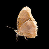 Close up of the butterfly in a side view. Close up of the brown butterfly in a side view. Isolated on black Royalty Free Stock Photos