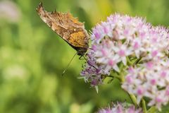 Close-up of a butterfly with small white flowers with light red dots. Autumn, Jiangsu Nanjing Xuan Kai Bu Hu Park, close-up of butterflies and small white stock photography
