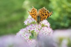 Close-up of a butterfly with small white flowers with light red dots. Autumn, Jiangsu Nanjing Xuan Kai Bu Hu Park, close-up of butterflies and small white stock photo
