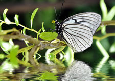 Close up of a butterfly water reflections. Close up of a butterfly, water reflections royalty free stock images