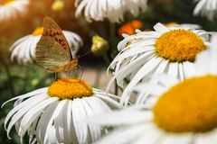 Close-up butterfly on white flower. Colorful Urticaria butterfly. Sitting on chamomile flowers stock images