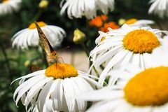 Close-up butterfly on white flower. Urticaria butterfly. Close-up butterfly on white flower. Colorful Urticaria butterfly sitting on chamomile flowers royalty free stock photography