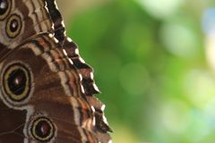 Close-up of butterfly wing with green background Royalty Free Stock Image