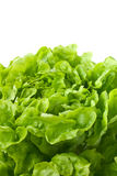 Close up of butterhead lettuce (macro). Close up of fresh butterhead lettuce (copy space Stock Photos
