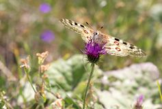 Macrophotography of a butterfly - Parnassius apollo Royalty Free Stock Photo