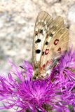 Macrophotography of a butterfly - Parnassius sacerdos Royalty Free Stock Image