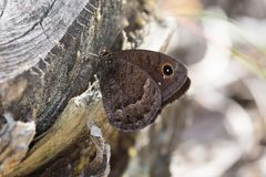 Macrophotography of a butterfly Satyrus ferula Royalty Free Stock Photos