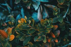 Close-up of buxus sempervirens leaves Royalty Free Stock Photos
