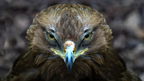 Portrait of a common Buzzard Stock Images