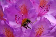Bumblebee in bright purple rhododendron stock image