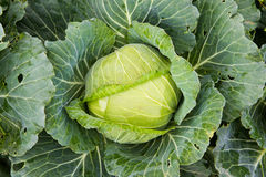 Close-up cabbage Stock Images