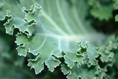 Close-up cabbage leaf Stock Image