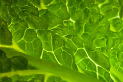 Close up cabbage leaf Stock Photos