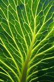 Close-up of cabbage leave in cabbage field. Netherlands, North Holland province. Still life of a cabbage leaf, leafs of White Cabbages, Brassica oleracea convar Stock Photo