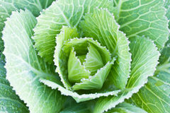 Close up cabbage vegetable Stock Photography