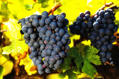 Close up of cabernet wine grapes on vine with blurred fall color Royalty Free Stock Photo