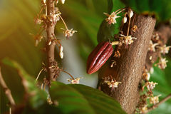 Close up of cacao blooming tree Royalty Free Stock Photo