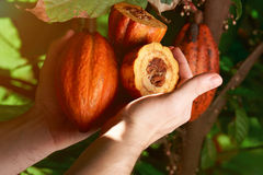 Close-up of cacao fruit. In man hands. Fruit for producing chocolate Royalty Free Stock Images