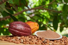 Close up of cacao powder. In plate with dry seeds and ready pods stock photos