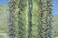 Close up Cactus. View of a Saguaro Cactus close up showing the needles closely stock photos