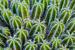Close-up cactus Royalty Free Stock Image