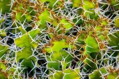 Close-up cactus Stock Image
