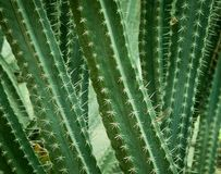Close up of cactus. Royalty Free Stock Images