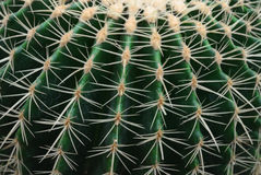 Close-up of the cactus Royalty Free Stock Images