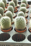 Close up of the cactus Stock Images