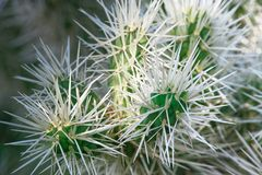 Close-up of cactus branches with long white needles. Teddy Bear Cholla Cactus - Cylindropuntia bigelovii stock images