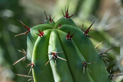 Close up of a cactus with clusters of red thorns stock images