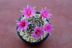 Close up of cactus flower. Mammillaria Shumannii stock photography