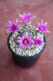 Close up of cactus flower. Mammillaria Shumannii royalty free stock image