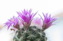 Close up of cactus flower. Mammillaria Shumannii stock photo