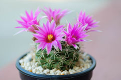 Close up of cactus flower. Mammillaria Shumannii royalty free stock photography
