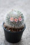 Close up of cactus flower. Mammillaria Shumannii stock images