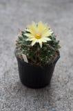 Close up of cactus flower. Mammillaria Shumannii royalty free stock photos