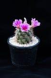 Close up of cactus flower. Mammillaria Shumannii stock photos