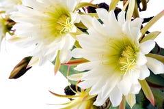 Close up of cactus flowers. Trichocereus scopulicolus royalty free stock image