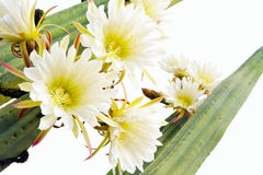 Close up of cactus flowers. Trichocereus scopulicolus stock image