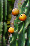 Close up of cactus with fruit Stock Image