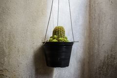 Close up of cactus hanging in a small black pot beside the cement wall, Cactus cultivation royalty free stock images